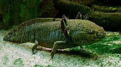 250px-Axolotl_ganz
