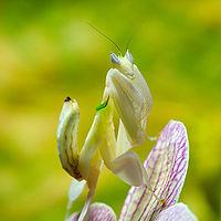 200px-Mantis_Hymenopus_coronatus_6_Luc_Viatour