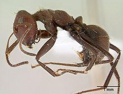 250px-Camponotus_saundersi_casent0179025_profile_1