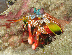 250px-OdontodactylusScyllarus