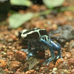 250px-Dyeing_Poison_Frog