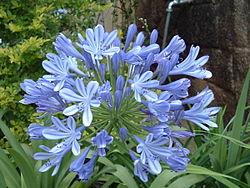 鬼滅の刃】青い彼岸花とその花言葉、または鬼舞辻がそれを求める